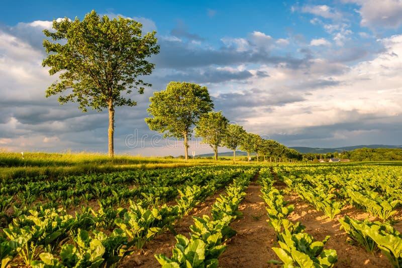 Rader av unga gröna växter på ett fertilt fält med mörk jord i varmt solsken under dramatisk himmel fotografering för bildbyråer