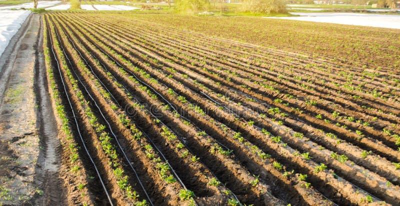 Rader av unga potatisar växer i fältet Droppbevattning Jordbruksmark åkerbrukt landskap Lantliga kolonier Lantgårdjordbruksmark royaltyfri foto