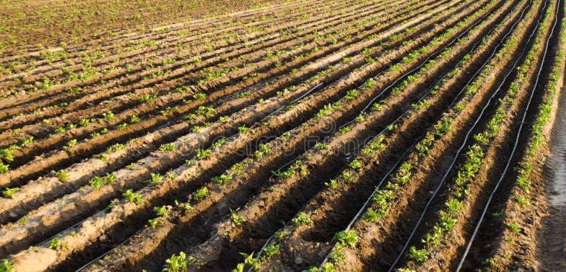 Rader av unga potatisar v?xer i f?ltet Droppbevattning Jordbruksmark ?kerbrukt landskap Lantliga kolonier Lantg?rdjordbruksmark arkivbild