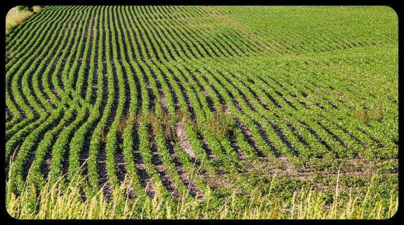 Rader av unga sojabönaväxter på en lantgård i Gretna Nebraska royaltyfri foto