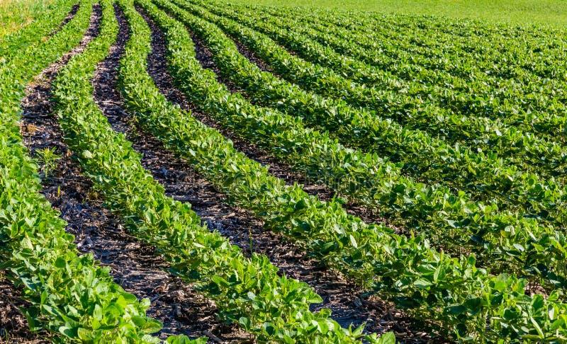 Rader av unga sojabönaväxter på en lantgård i Gretna Nebraska royaltyfria bilder