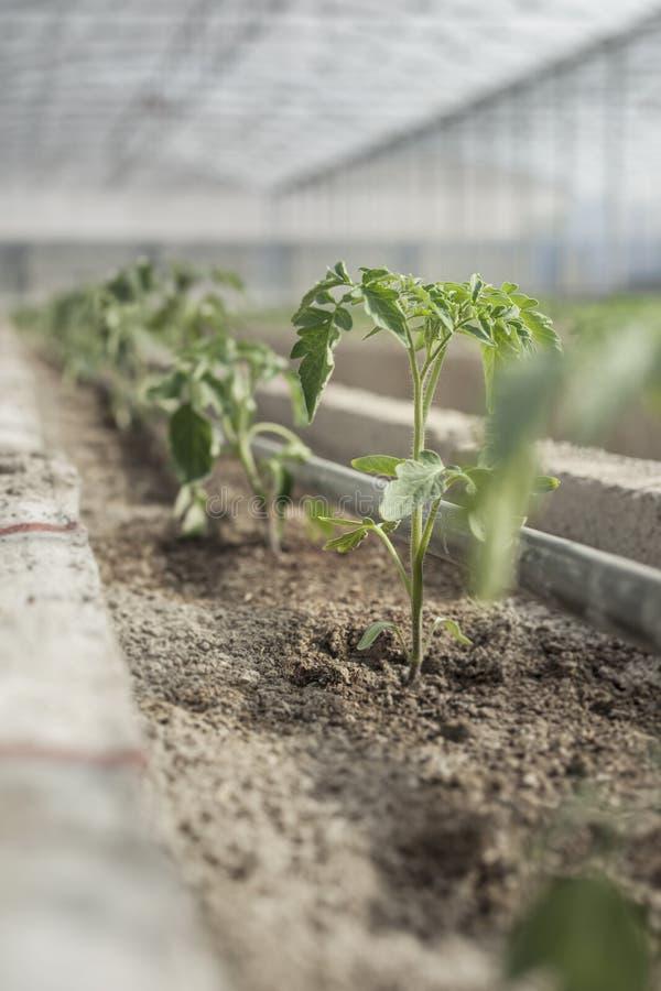 Rader av unga tomatväxter i ett växthus arkivfoto