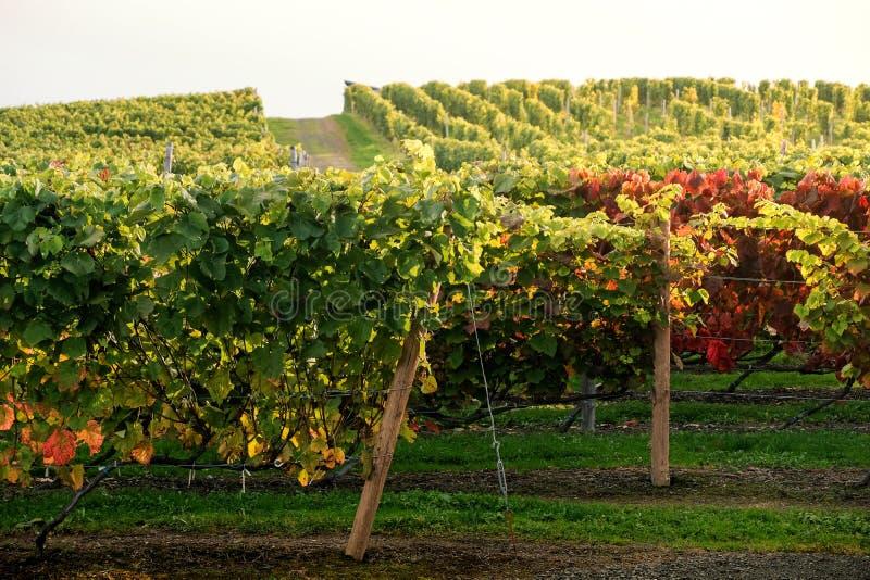Rader av vingårddruvan i nedgång och Autumn Season Landskap av vinodlinglantgårdkolonin arkivfoto