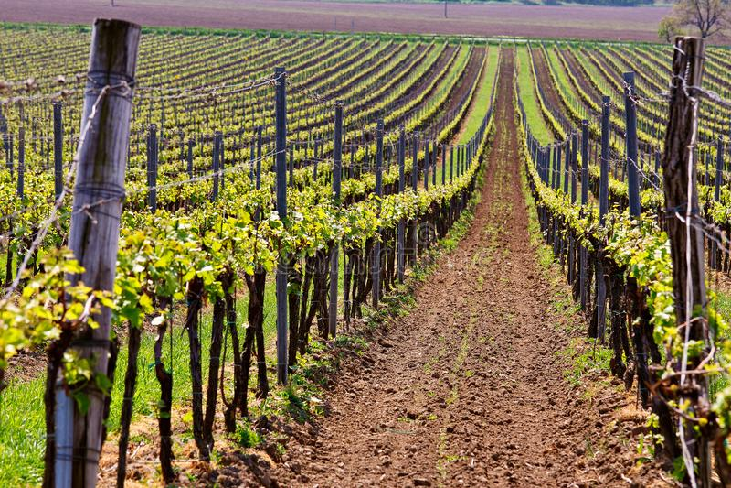 Rader av vingårddruvavinrankor Vårlandskap med grön vineya arkivbilder