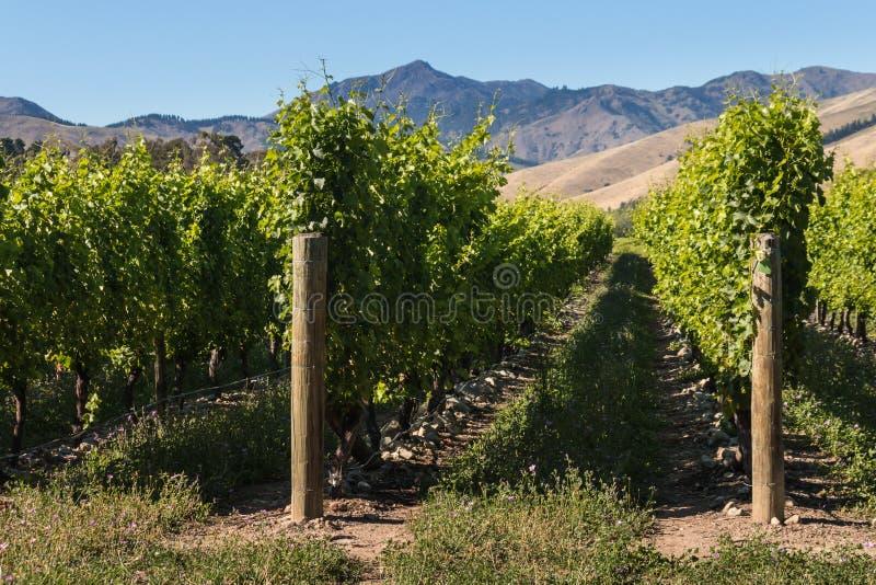 Rader av vinrankan i vingård royaltyfri fotografi