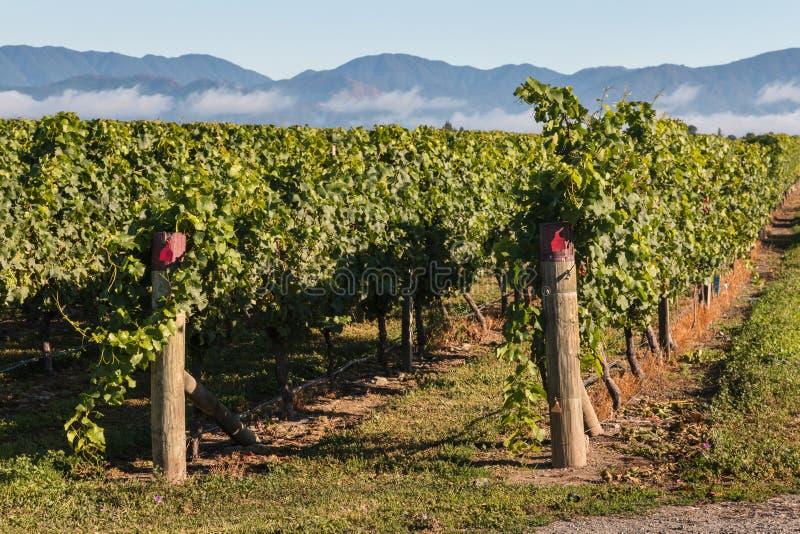 Rader av vinrankan i vingård fotografering för bildbyråer