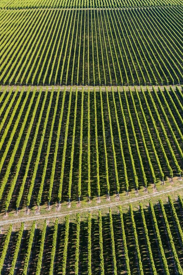 Rader av vinrankan i vingård arkivfoton