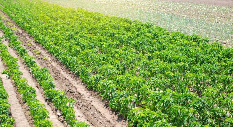 Rader/koloni av ung peppar på en lantgård på en solig dag V?xande organiska gr?nsaker Eco-v?nskapsmatch produkter ?kerbrukt land fotografering för bildbyråer