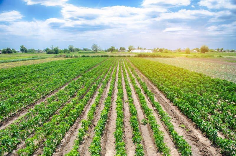Rader/koloni av ung peppar på en lantgård på en solig dag V?xande organiska gr?nsaker Eco-v?nskapsmatch produkter ?kerbrukt land royaltyfri fotografi