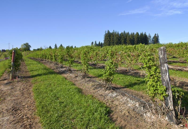 Rader och vinrankor av hallonfältet. royaltyfri fotografi