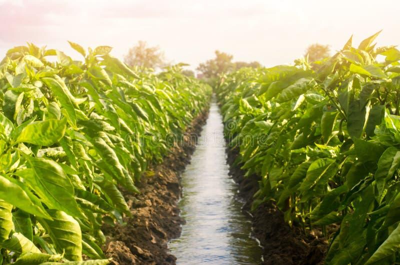 Rader pepprar kolonin som delas av bevattningvattenkanalen traditionell metod av att bevattna fälten Odling omsorg arkivfoton