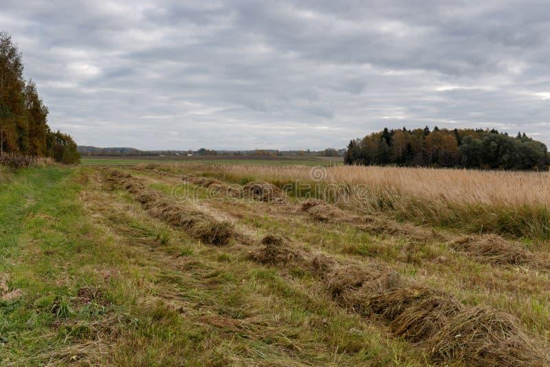 Raderna av snittgräs på kanten av fältet royaltyfria foton