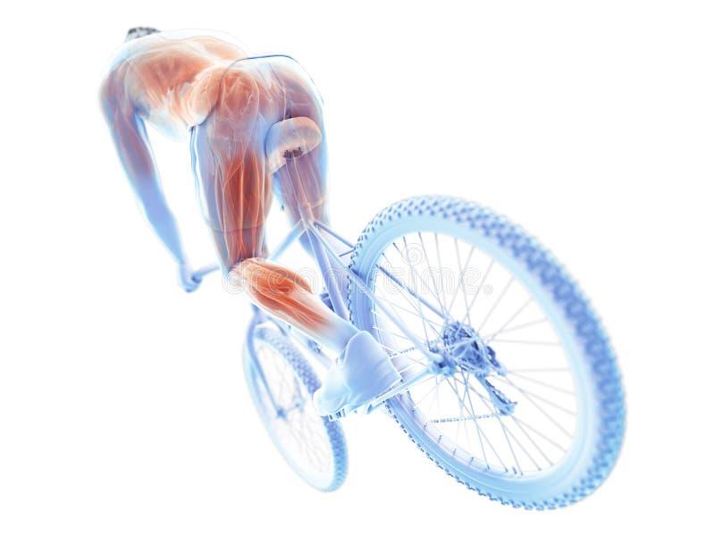 Radfahrermuskeln lizenzfreie abbildung
