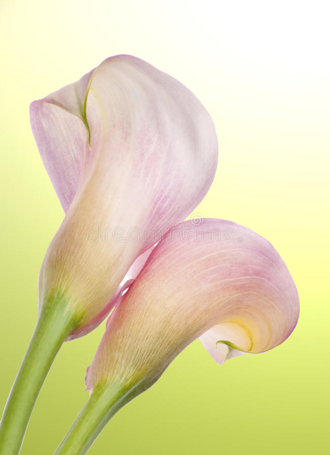 Free Radiant Calla Lily Background Royalty Free Stock Photos - 14788098