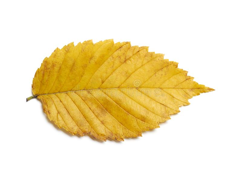 Radiant yellow gold fall elm leaf on white stock photo