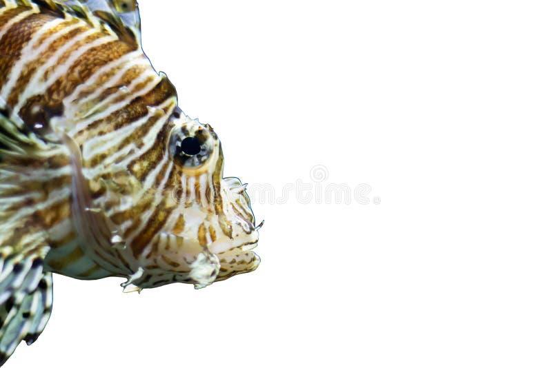 Radiata lionfish on a white background royalty free stock image