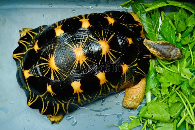Radiata tortoise. Astrochelys radiata - feeding. Animal portrait stock photos