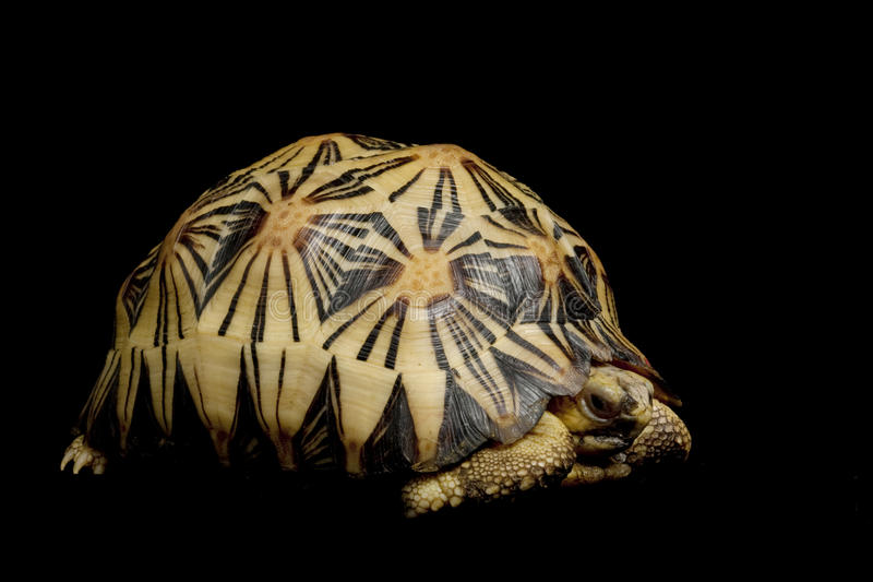Radiated tortoise royalty free stock photography
