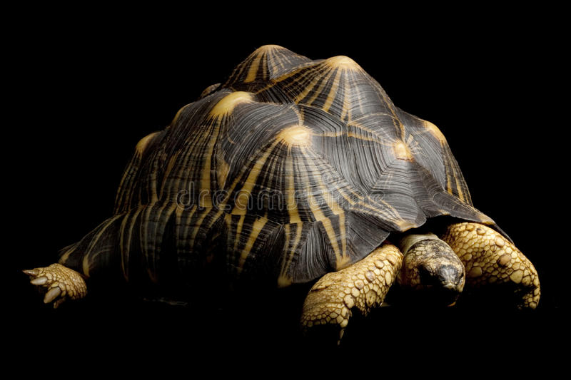 Radiated tortoise royalty free stock image