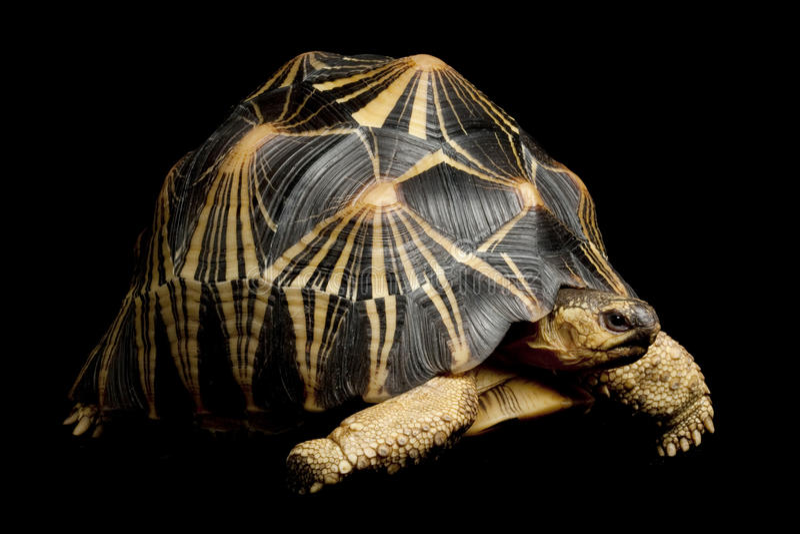 Radiated tortoise royalty free stock photo