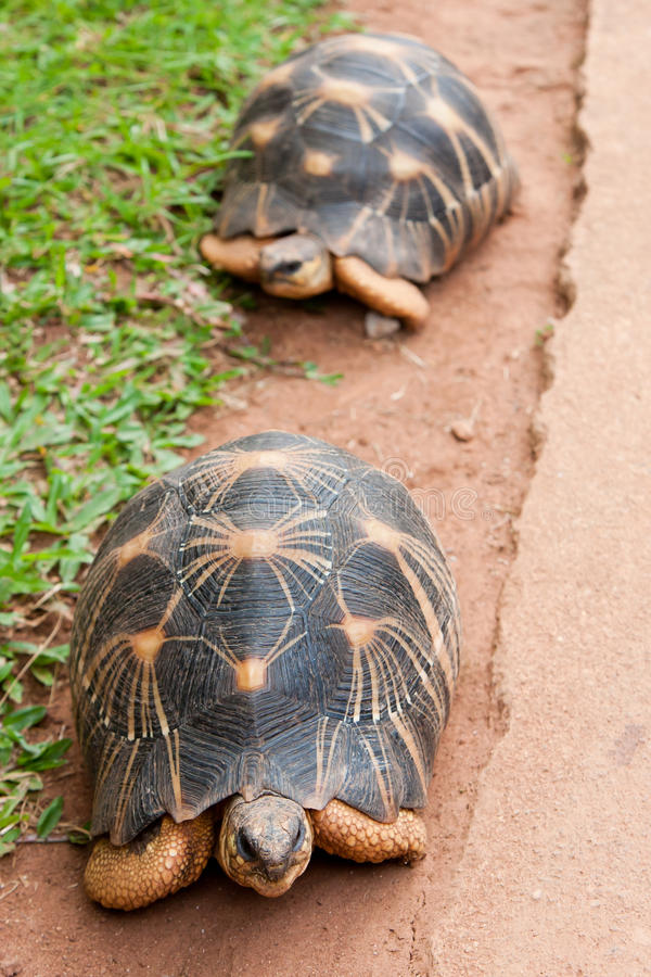 The radiated tortoise royalty free stock photography