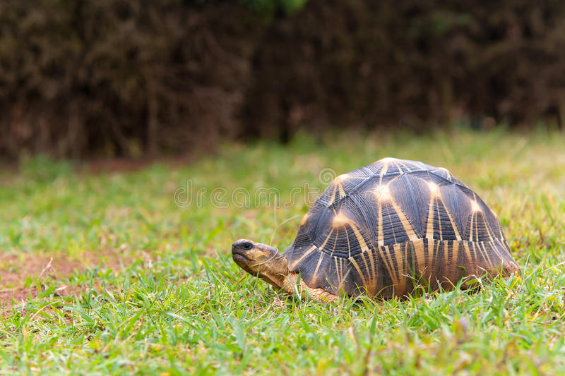 The radiated tortoise. Endemic turtle from south of Madagascar royalty free stock image