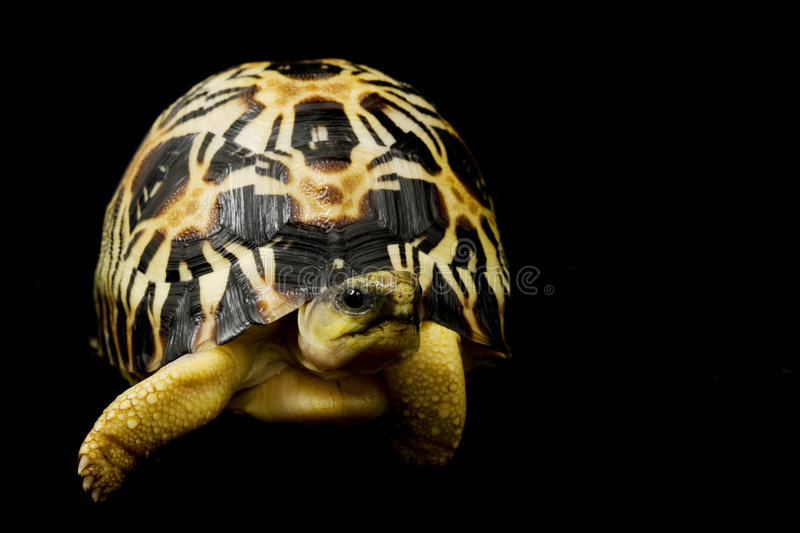 Radiated Tortoise stock photos