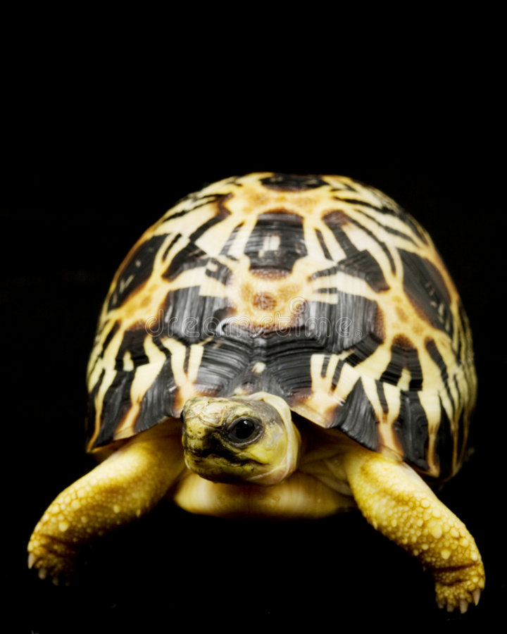 Radiated Tortoise stock photo
