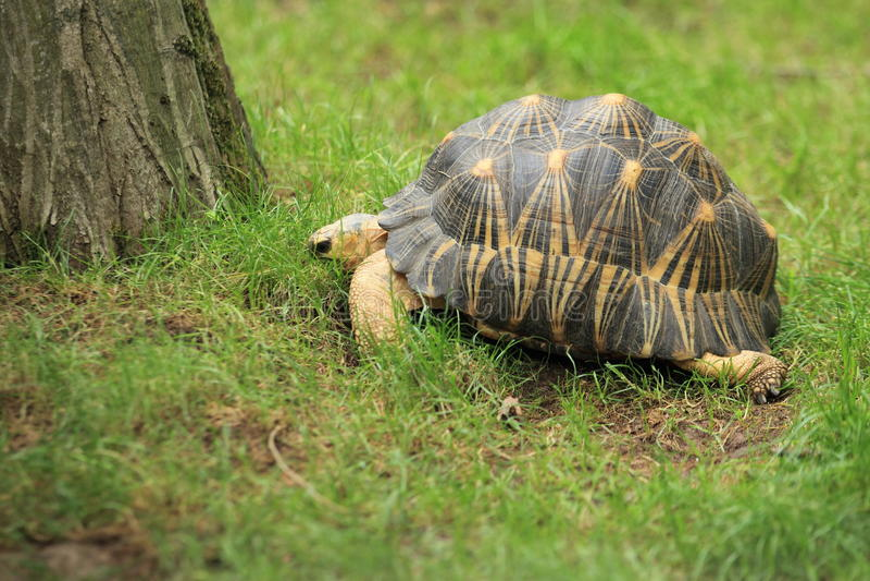 Radiated tortoise stock image