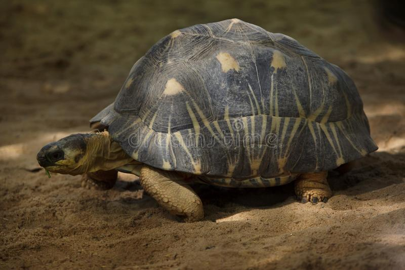 Radiated tortoise Astrochelys radiata. Wildlife animal stock photo