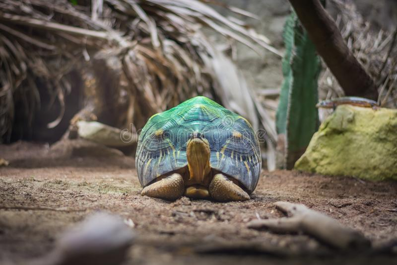 Radiated tortoise on the green spotlight in aquarium in Berlin Germany.  royalty free stock image