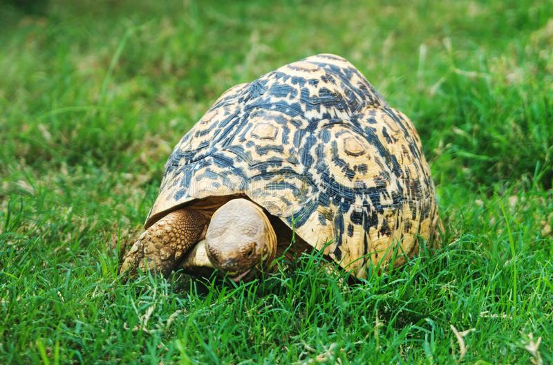 Radiated tortoise. stock images