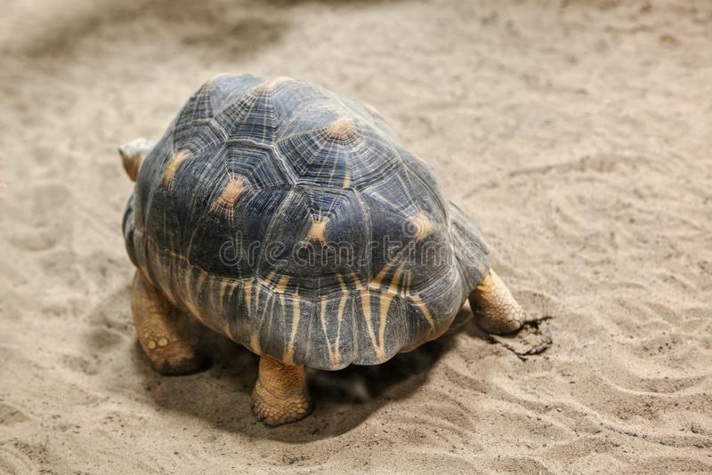 Radiated Tortoise on the sand royalty free stock image