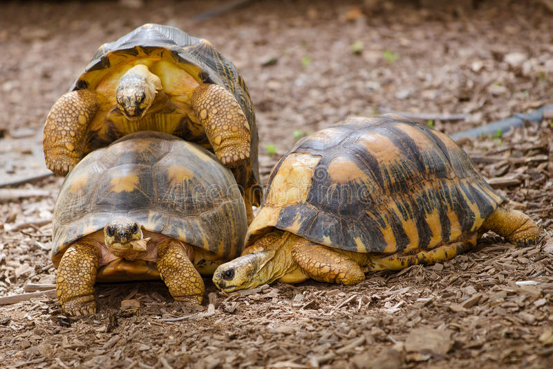 Radiated Tortoises Mating Royalty Free Stock Photography