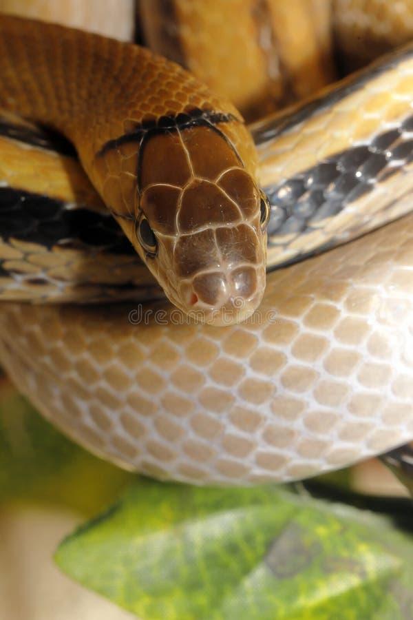 radiatus Cobre-dirigido del coleognathus de la serpiente del elaphe agresivo pero no venenoso imagen de archivo libre de regalías