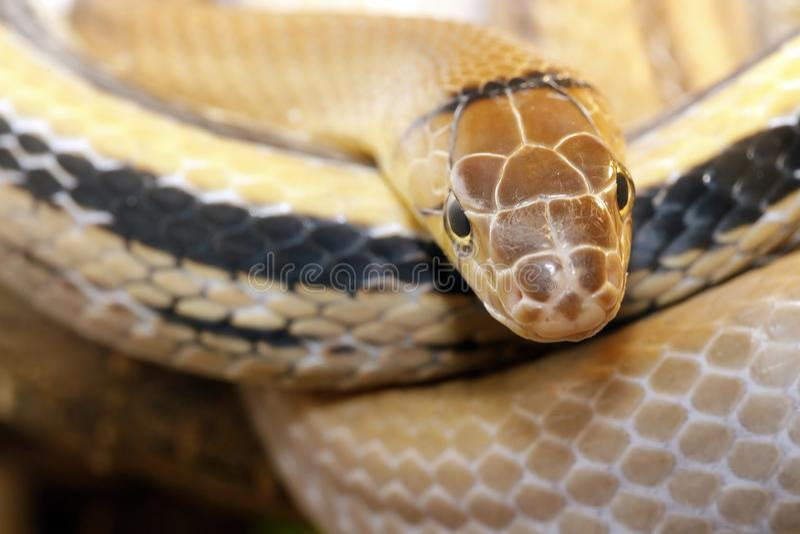 radiatus Cobre-dirigido del coleognathus de la serpiente del elaphe agresivo pero no venenoso fotos de archivo