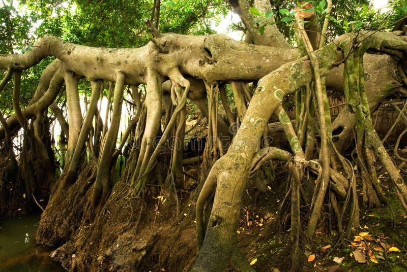 Radice 1. dell'albero. immagini stock