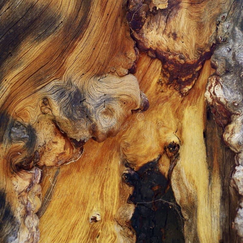 Radice annodata dell'albero lungo le tracce del supporto Charleston, Nevada fotografie stock