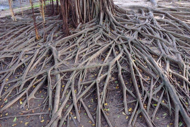 Radice del banyan immagine stock libera da diritti