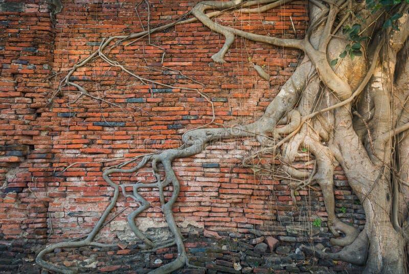 Radice dell'albero e muro di mattoni antico immagini stock