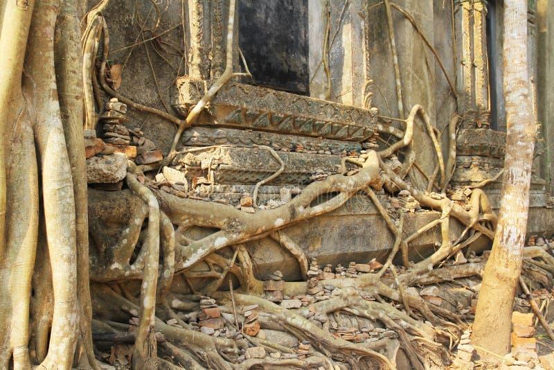 Radice dell'albero in parete al vecchio tempio Tailandia fotografia stock libera da diritti