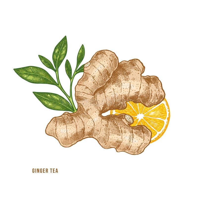 Radice dello zenzero, agrume ed illustrazione del tè Stile dell'annata Illlustration di vettore royalty illustrazione gratis