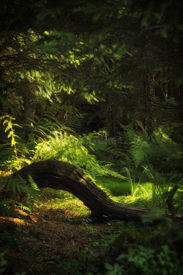 Radice di un albero in una foresta, Zakopane fotografia stock