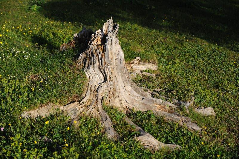 Radice morta dell'albero fotografia stock