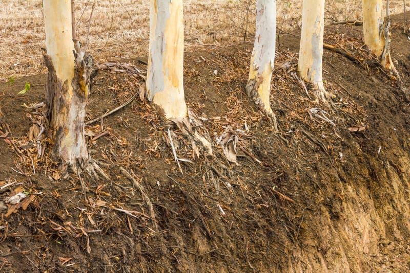 Radici asciutte dell'albero di eucalyptus fotografie stock libere da diritti