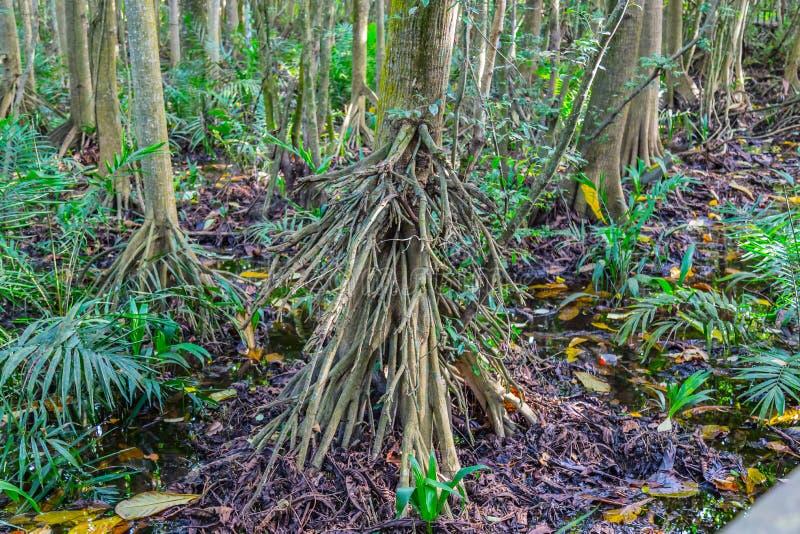 Radici degli alberi della mangrovia nella foresta della mangrovia come visto il centro di conservazione di Lekki in Lekki, Lagos  fotografia stock libera da diritti