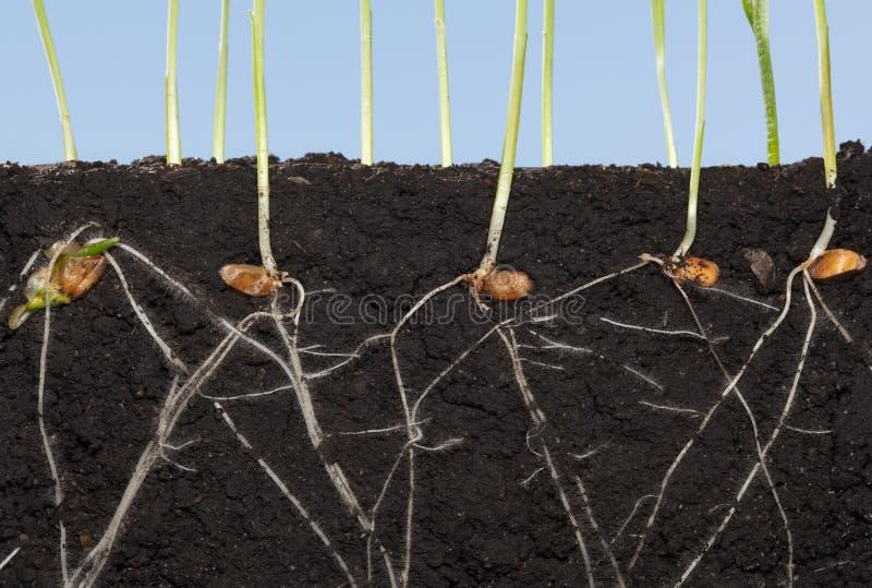 Radici dei semi germinati grano immagine stock