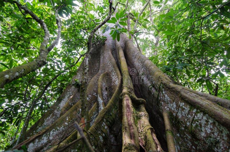 Radici del contrafforte nella foresta pluviale fotografia stock libera da diritti