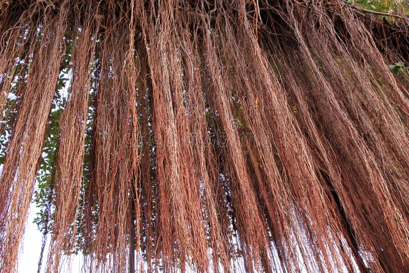 Radici del fondo dell'albero di banyan fotografia stock