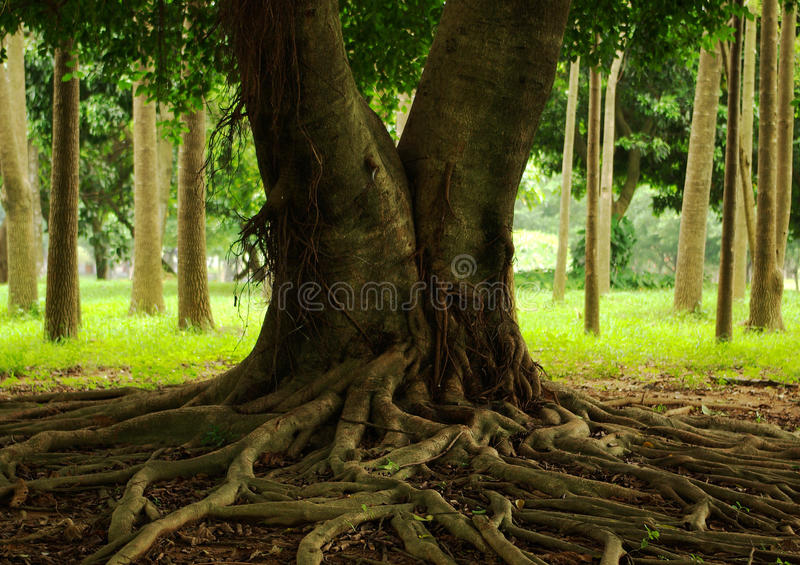 Radici dell'albero fotografia stock libera da diritti